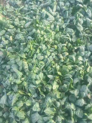 河南省周口市太康县大叶菠菜 15~20cm