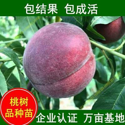 这是一张关于黑桃苗 0.5~1米的产品图片