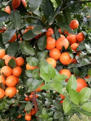 广西壮族自治区河池市宜州市沙糖桔 3.5 - 4cm 2 - 3两