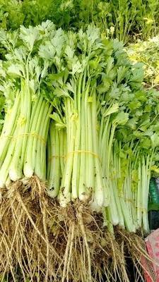 安徽省蚌埠市怀远县美国西芹 40~45cm 大棚种植 0.5斤以下