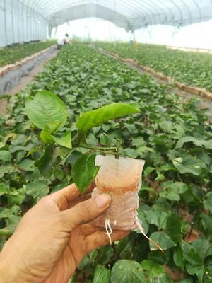 这是一张关于黄果苗的产品图片