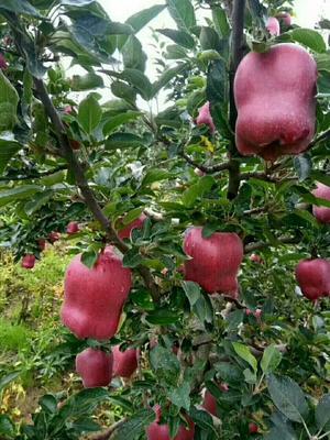 这是一张关于花牛苹果树苗 1~1.5米的产品图片