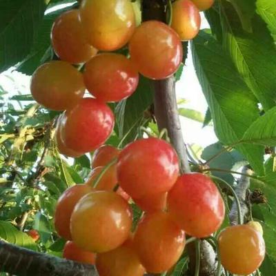 这是一张关于甜樱桃苗的产品图片