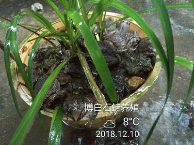 广西壮族自治区玉林市博白县石蛙肉 新鲜
