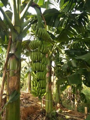 广西壮族自治区钦州市灵山县威廉斯香蕉苗 粉蕉 中蕉9号 桂蕉