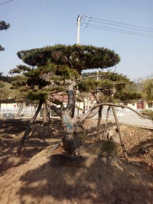 山东省莱芜市钢城区造型油松