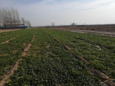 河北省邯郸市大名县铁杆青香菜 30~35cm