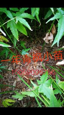 这是一张关于青枫的产品图片