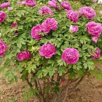 山东省菏泽市牡丹区牡丹树 0.5~1米 2~4cm 4~6cm