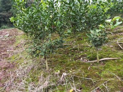 这是一张关于红桔苗 移栽苗 1~1.5米的产品图片