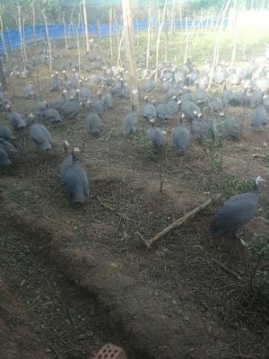 这是一张关于银斑珍珠鸡 4-6斤的产品图片