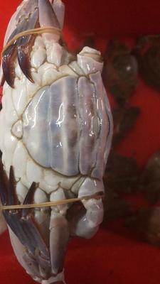 浙江省宁波市鄞州区红膏蟹 母蟹 4.0两以上