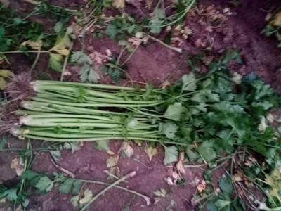山东省潍坊市诸城市章丘鲍芹 55~60cm 0.5~1.0斤 大棚种植