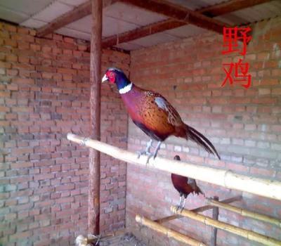 江苏省宿迁市沭阳县七彩山鸡 2-3斤
