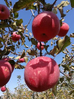 陕西省延安市宜川县红富士苹果 85mm以上 全红 纸袋