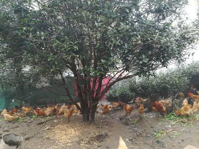 江苏省南京市浦口区阉鸡 4-5斤 公