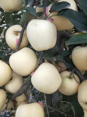 山东省泰安市泰山区维纳斯黄金苹果苗 2.0~2.5米