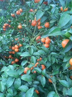 广西壮族自治区桂林市全州县沙糖桔 3.5 - 4cm 1两以下