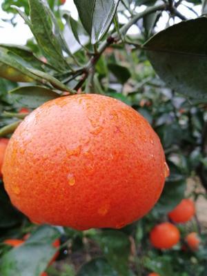 这是一张关于红美人柑桔 6.5 - 7cm 3两以上的产品图片