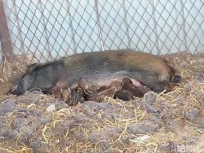 黑龙江省大庆市红岗区特种野猪 统货 80斤以上