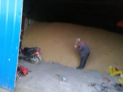 吉林省白城市大安市杂交稻 中稻/一季稻