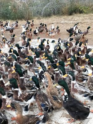 贵州省贵阳市花溪区麻鸭 公 全散养 5-6斤