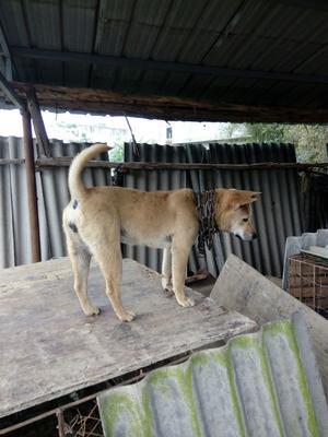 这是一张关于土猎狗的产品图片