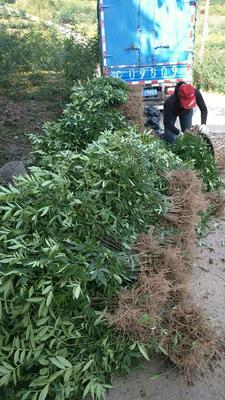 这是一张关于九叶青花椒苗的产品图片