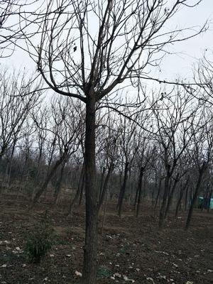 这是一张关于北栾树的产品图片