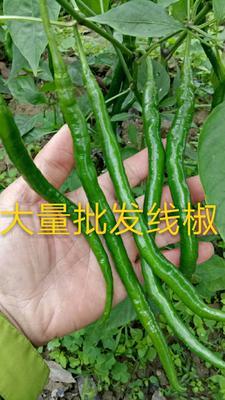 广西壮族自治区玉林市博白县线椒 15~20cm 中辣 靑色
