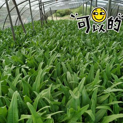 河北省唐山市迁安市美冠油麦菜 25~30cm
