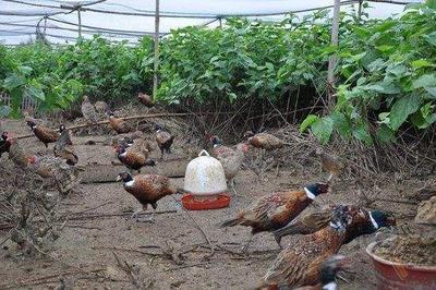贵州省黔东南苗族侗族自治州麻江县野山鸡 2-3斤