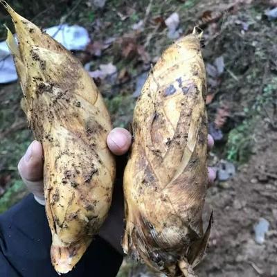 广东省河源市龙川县冬笋 9~13cm 鲜笋