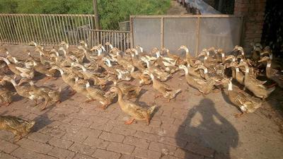 这是一张关于蛋鸭 3-4斤 母 全散养的产品图片