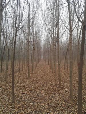山东省菏泽市牡丹区速生白蜡 3~3.5米