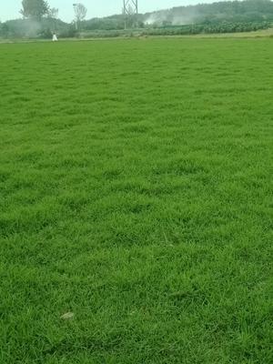 安徽省滁州市南谯区马尼拉草皮