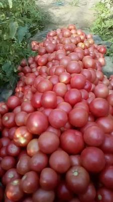 河北省沧州市献县大红硬果 通货 弧二以上 大红