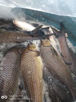 这是一张关于岩原鲤 人工养殖 0.05公斤的产品图片