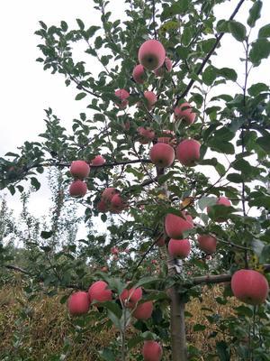 甘肃省天水市麦积区红富士苹果 85mm以上 全红 纸袋
