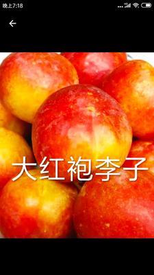 这是一张关于大红袍李子苗的产品图片