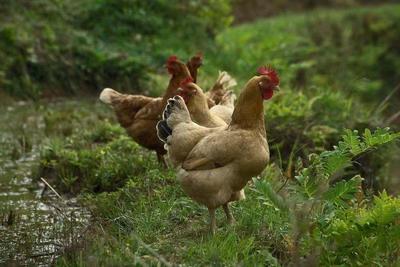这是一张关于土鸡 4-5斤 统货的产品图片