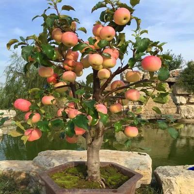 矮化红富士苹果苗 0.5米以下
