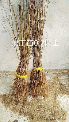 这是一张关于山丁子树苗 0.5米以下的产品图片