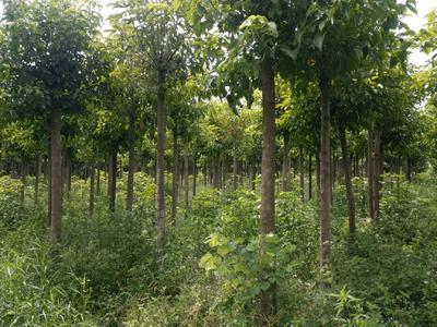 广西壮族自治区百色市右江区丛生朴树