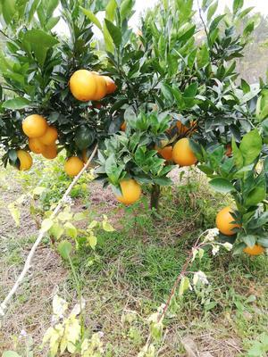 这是一张关于赣南脐橙 80-85mm 4两以下的产品图片