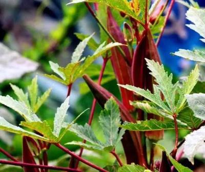 这是一张关于红秋葵 6 - 8cm的产品图片