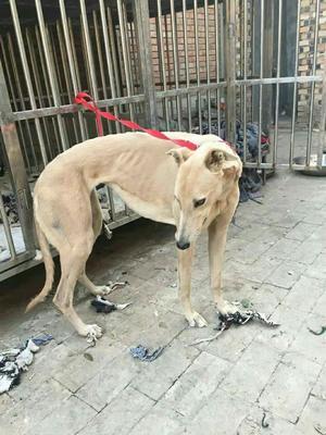 这是一张关于灵缇犬的产品图片