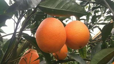 这是一张关于长虹脐橙 70-75mm 4-8两的产品图片