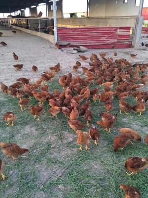 土鸡 5-6斤 母