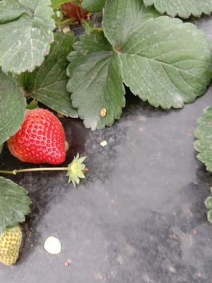 这是一张关于丰香草莓 20克以上的产品图片